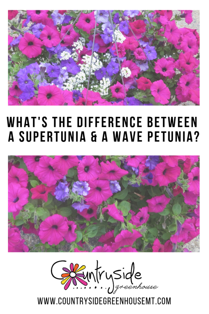 How Is A Supertunia Different Than A Wave Petunia